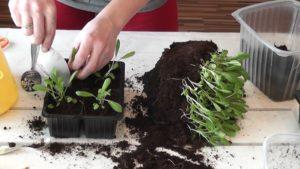 Как выращивать сальвию