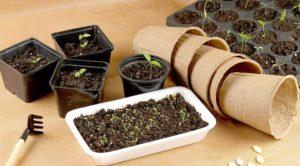 Как подготовить семена, грунт, горшокк посадке астр на рассаду