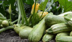 Как получить богатый урожай кабачков
