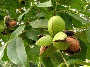 Как посадить орех