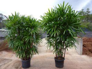 Как посадить пальму