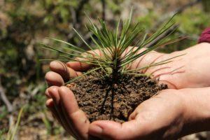 Как посадить сосну
