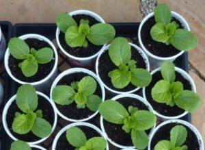 Как правильно вырастить рассаду пекинской капусты в домашних условиях