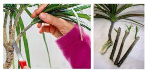 Как правильно обрезать драцену в домашних условиях
