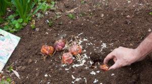 Как правильно проводить процесс посадки луковиц лилии садовой – пошаговая инструкция