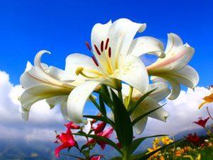 Как сажать лилии