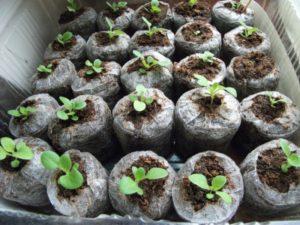 Как сажать растения в торфяные таблетки