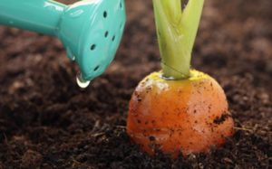 Как ухаживать за морковью