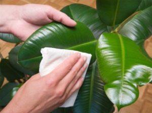 Как ухаживать за фикусом в домашних условиях?