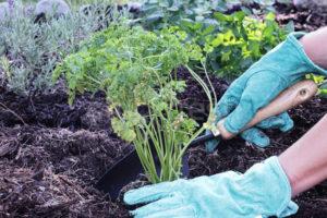 Когда и как высаживать петрушку в открытый грунт?