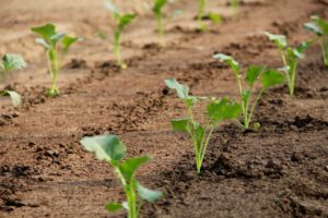Когда лучше высаживать рассаду капусты в грунт