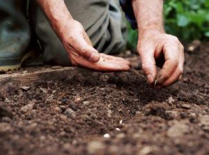 Когдасажать огурцы семенами в грунт