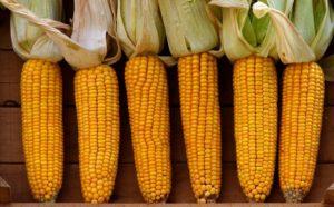Кукуруза, описание растения