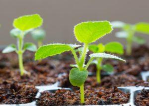 Методика проращивания семян киви