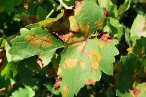 Методы борьбы с болезнями и вредителями винограда