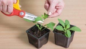 Нужно ли прищипывать и обрезать растения