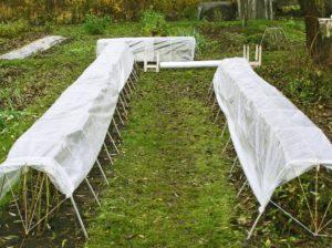 Нужно ли укрывать растения ежевики после осенней посадки?