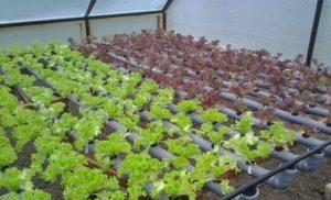 Овощи и зелень для выращивания в зимней теплице