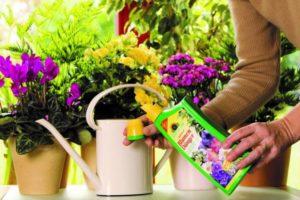 Особенности выращивания в домашних условиях