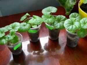 Особенности выращивания герани