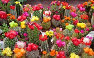 Особенности выращивания кактусов