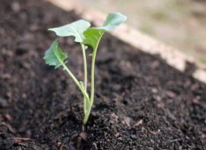 Особенности капусты брокколи, на которые стоит обратить внимание