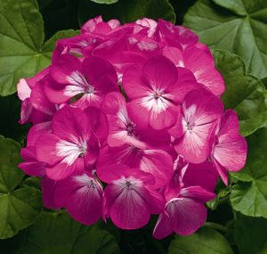 Пеларгонии зональные — Zonal pelargoniums