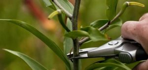 Подкормка и обрезание лилий