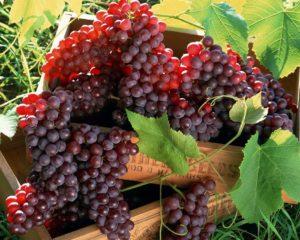 Польза разных сортов винограда