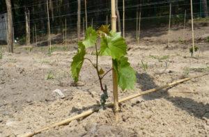 Посадка винограда на участке