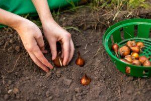 Посадка луковиц: открытый грунт, теплица