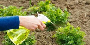 Посадка петрушки в открытый грунт весной: инструкция, рекомендации по уходу