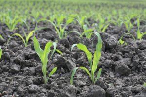 Посев кукурузы в открытый грунт
