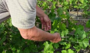 Правила выращивания и ухода за виноградом