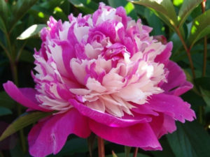 Ранние сорта цветения пионов