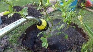 Садовая голубика: уход