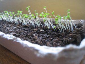 Салат рассадой