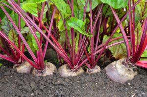 Условия и агротехника выращивания свеклы