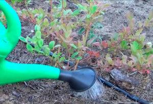 Уход за голубикой садовой