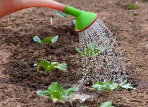 Уход за рассадой на грядке