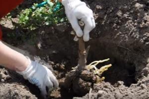 Уход и выращивание георгинов