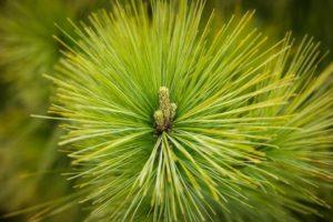 Хвоя сосны — полезные свойства и противопоказания