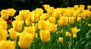 Цветы тюльпаны, описание