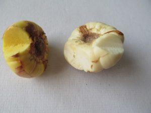 Что делать, если у гладиолуса сломался росток?