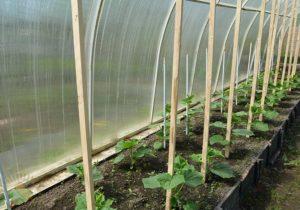 2 способа посадить огурцы в теплицу