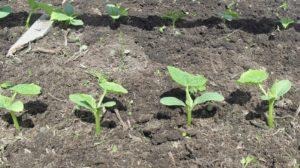 9 советов посева огурцов в открытый грунт